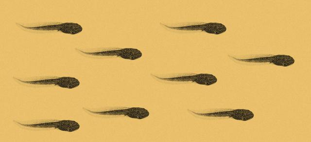 Tadpoles swimming.