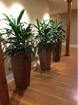 3 tall green indoor plants by plantscape interior