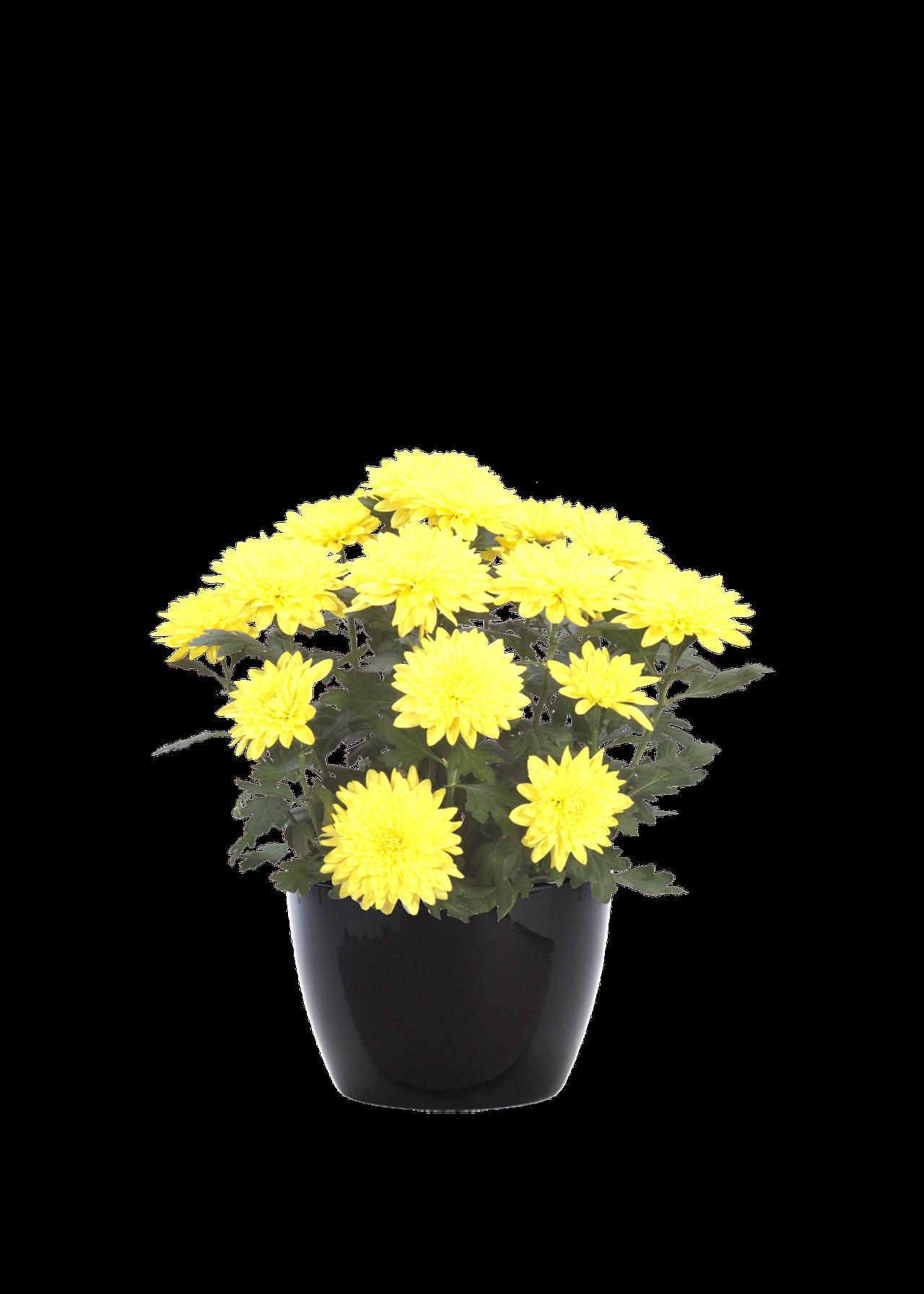 chrysanthemumyellow.png