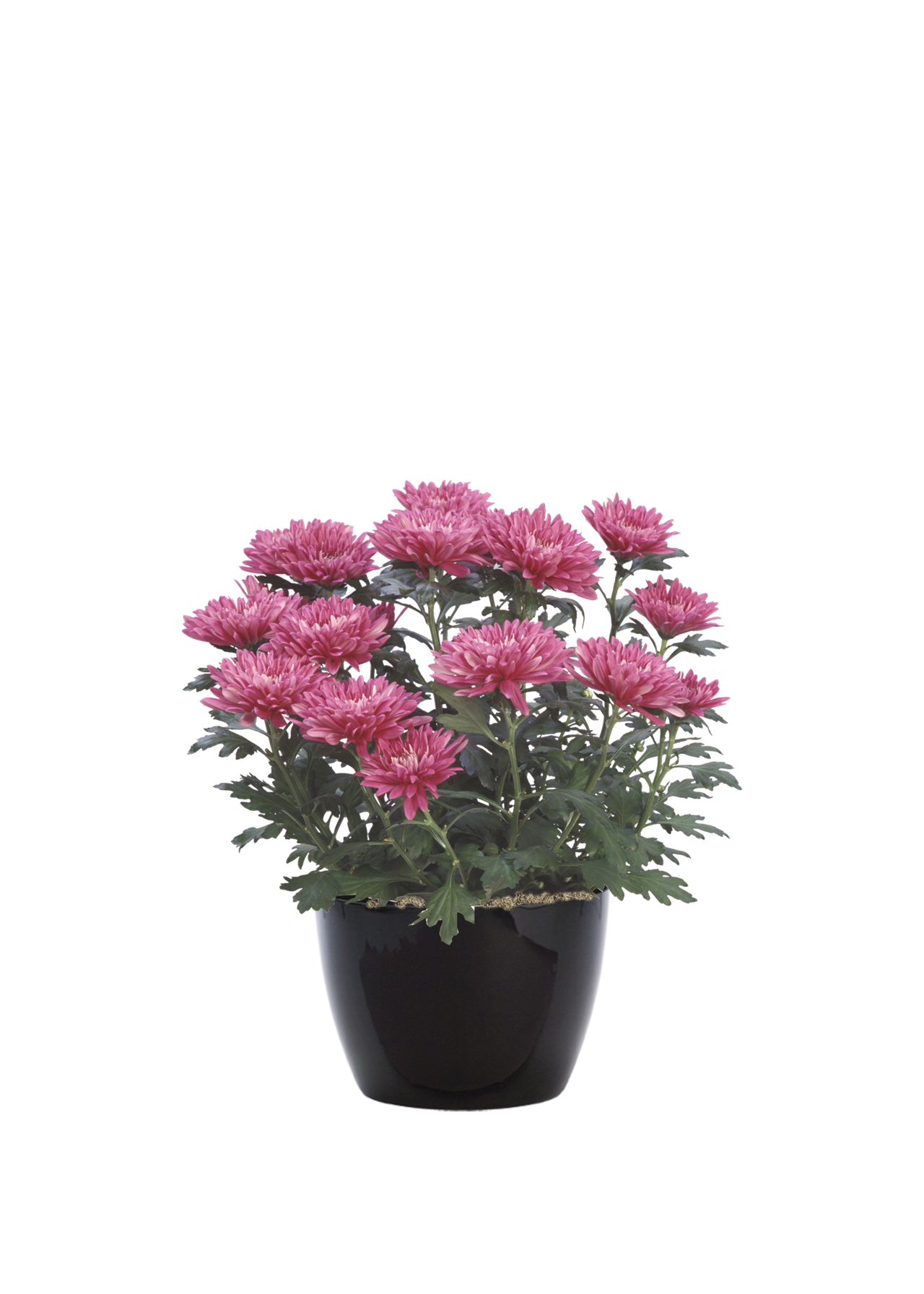 chrysanthemummaroon.png