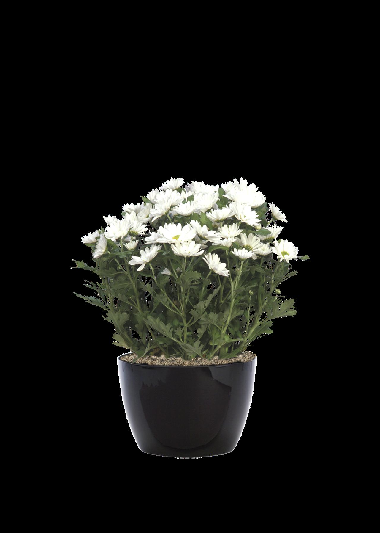 chrysanthemumwhite.png