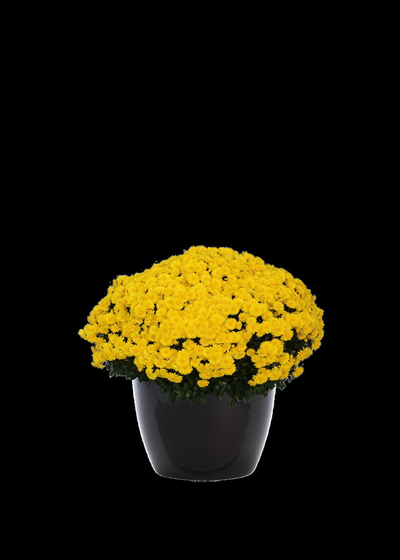 chrysanthemumoutdoorgold.png