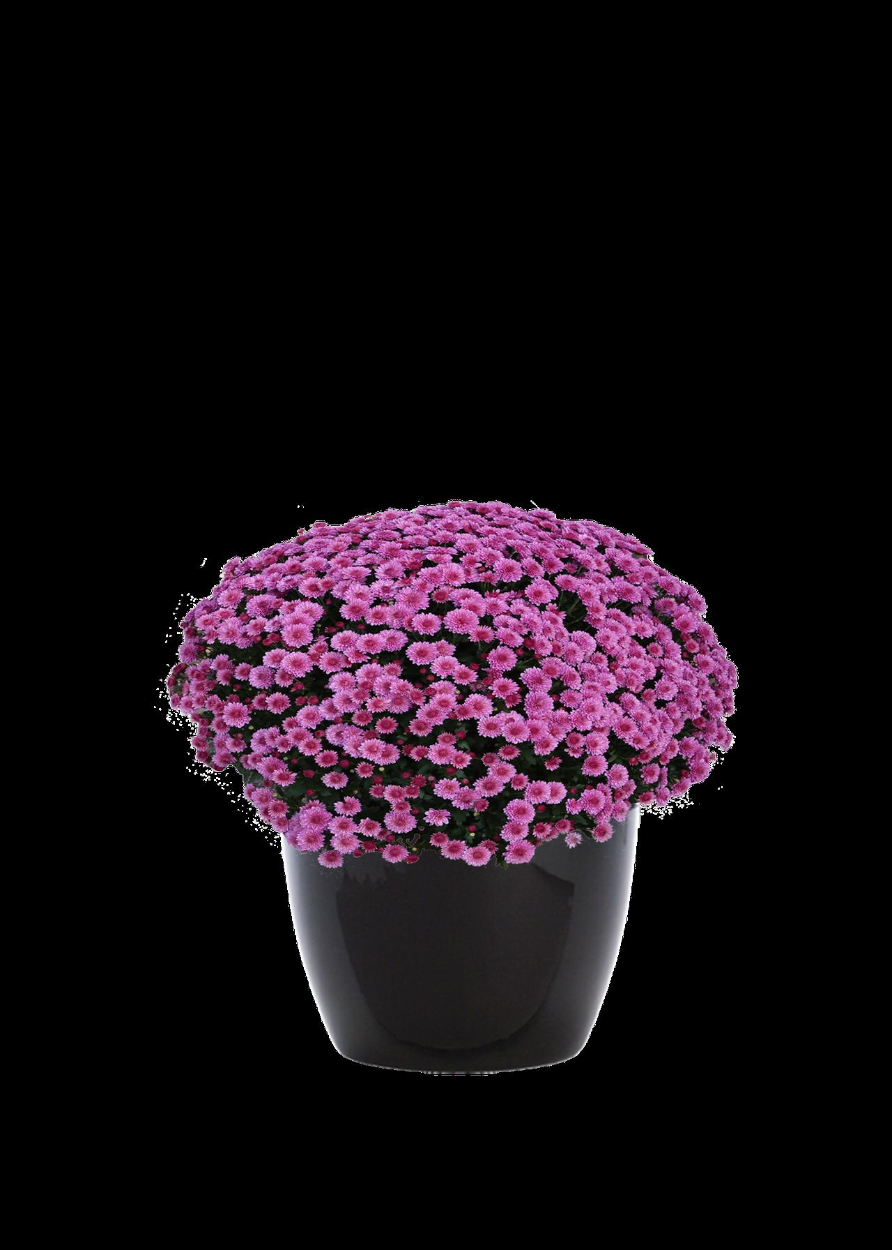 chrysanthemumoutdoor.png