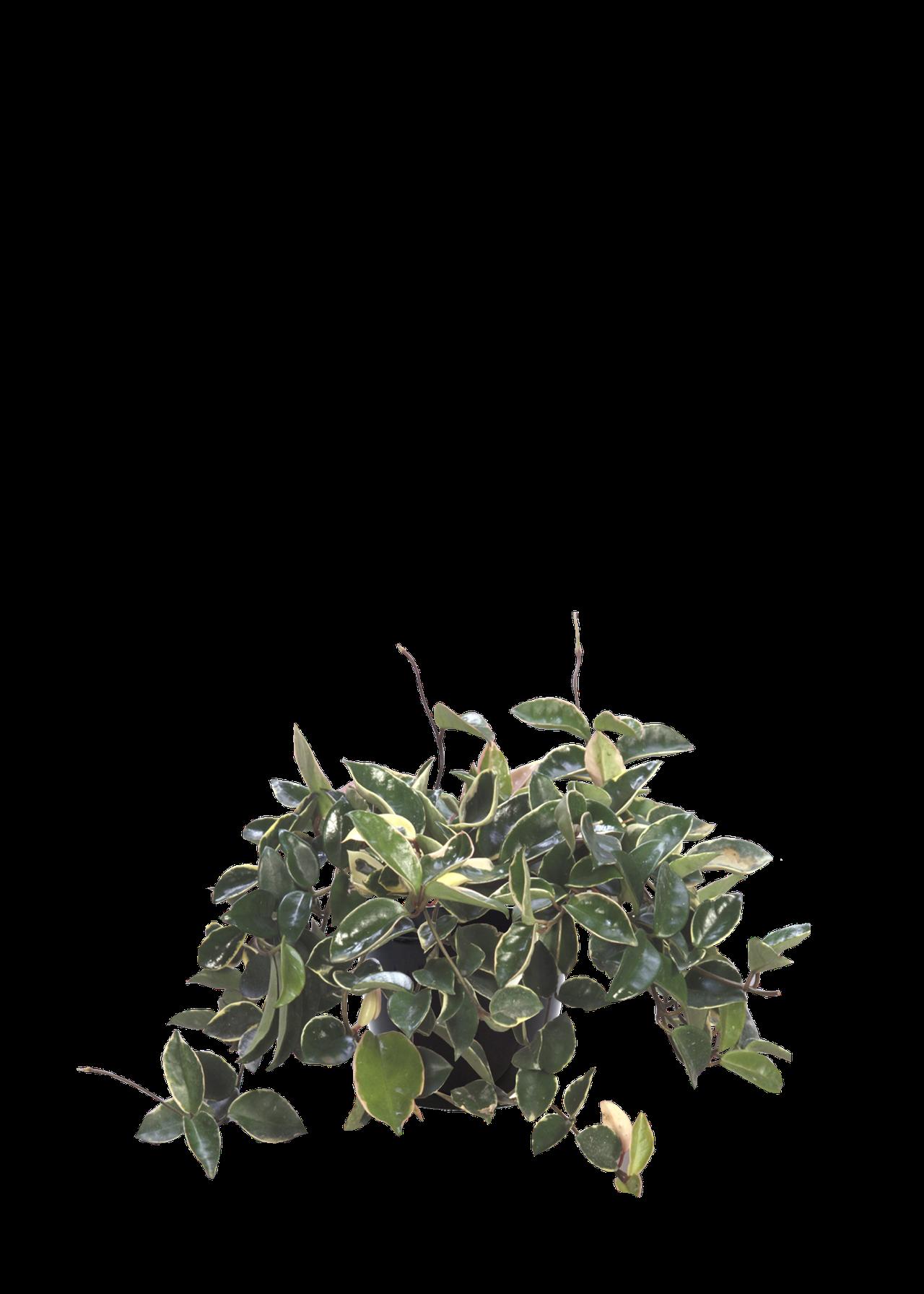 waxplant.png