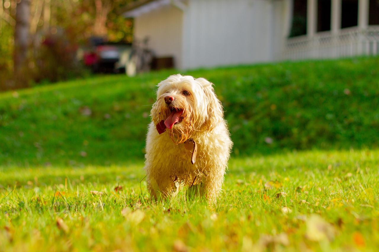 Image of a dog in a yard after getting dog poop clean-up service.