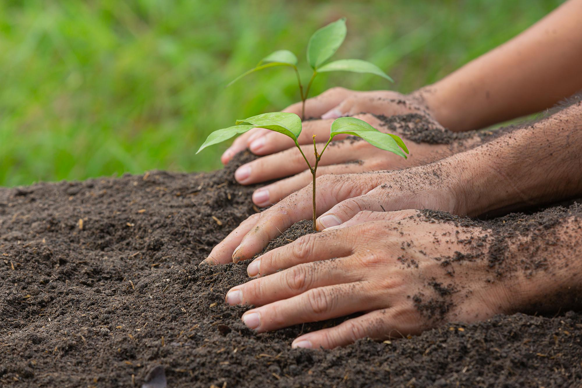 two sets of hands planting two saplings into the ground