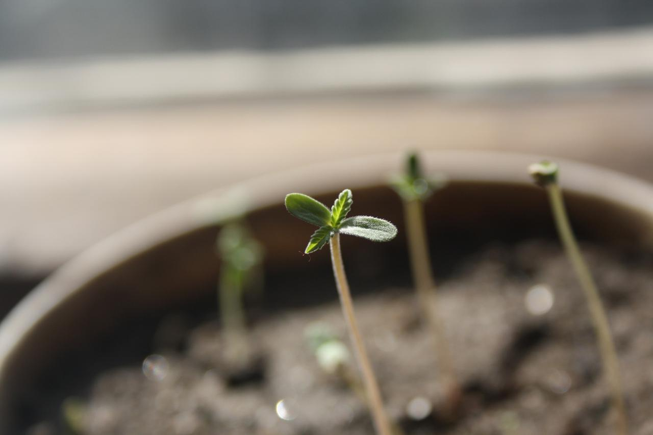 a7b8 seedling